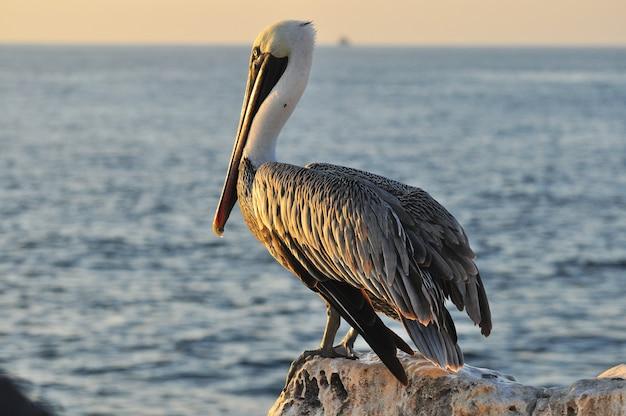 Pélican dans un paysage de bord de mer Photo Premium