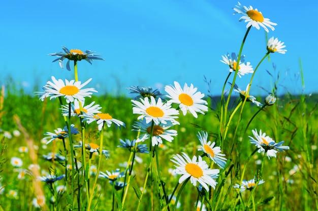 Pelouse de marguerites blanches sur fond de ciel bleu Photo Premium