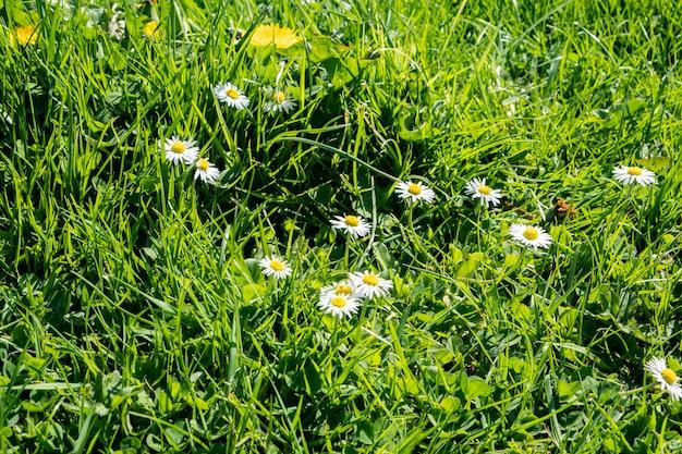 Pelouse verte au printemps avec des fleurs de pissenlit et des marguerites Photo Premium