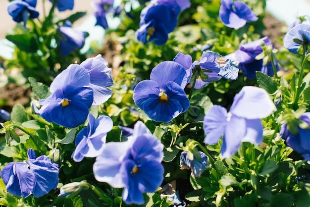 Pensées Bleues Fleurissent Sur Un Parterre De Fleurs Dans Le Jardin En été Par Une Journée Ensoleillée. Mise Au Point Sélective Photo Premium