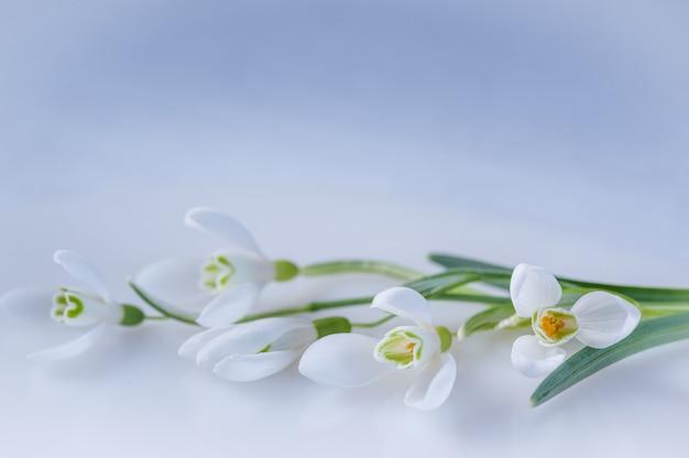 Perce-neige sur fond blanc Photo Premium
