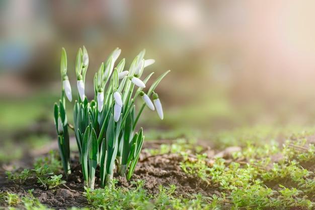 Perce-neige de printemps au soleil Photo Premium