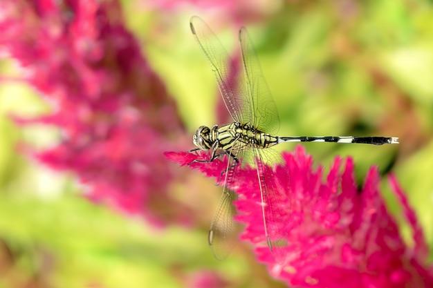 Perche de libellule sur la celosia à plumes. Photo Premium