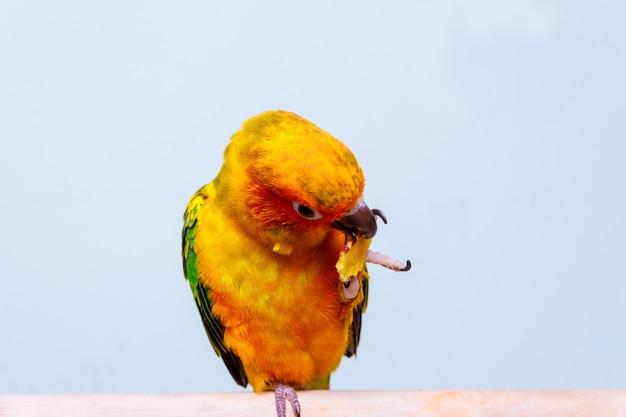Le perroquet adorable conure de soleil mange Photo Premium