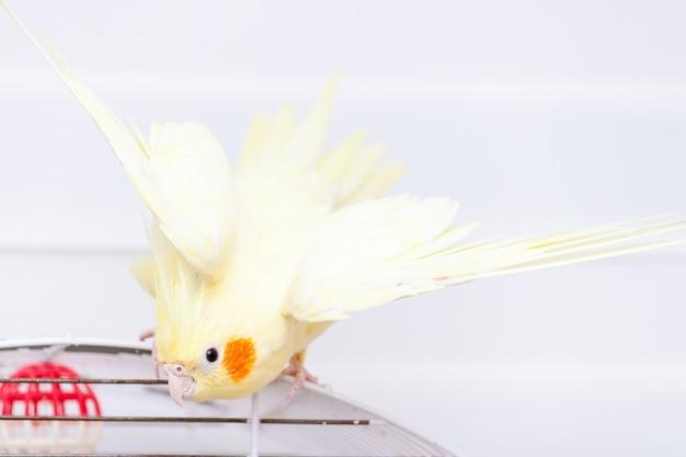 Perroquet Calopsitte Nymphe Jaune Sur Cage Oiseau à La Maison. Photo Premium