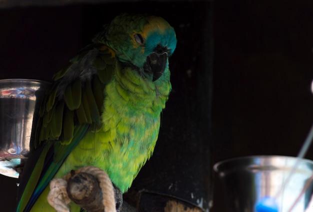 Perroquet coloré vert dormant Photo Premium