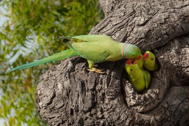 Perroquet nourrissant peu Photo Premium