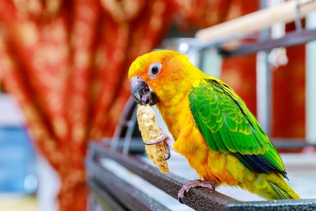 Perroquet sauvage beau soleil coloré conure manger biscuit Photo Premium
