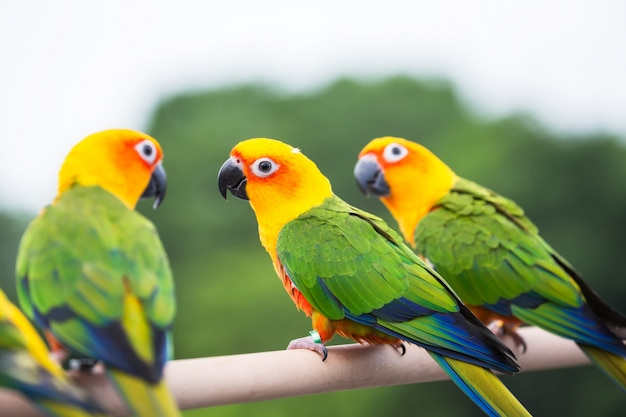 Perroquet sun conure Photo Premium