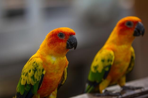 Perruche ou perroquet sun conure, bel oiseau perroquet jaune et orange Photo Premium