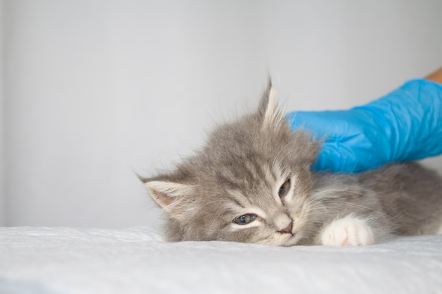 Persan Gris Peu Moelleux Maine Coon Kitte à La Clinique Vétérinaire Et Les Mains Dans Les Gants Bleus Photo Premium