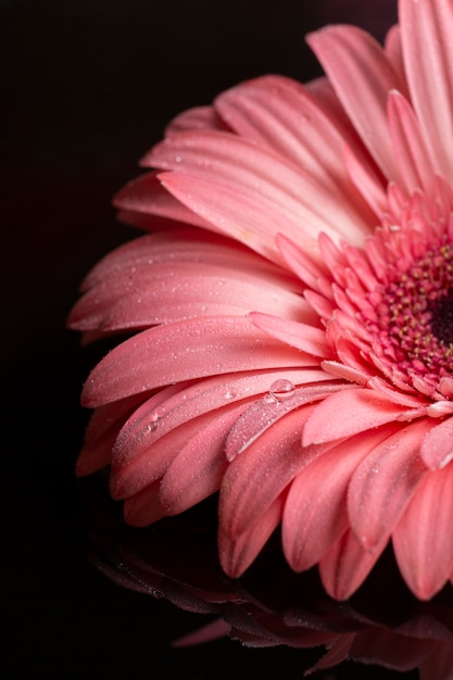 Pétales De Gerbera Rose Sur Fond Noir Photo gratuit