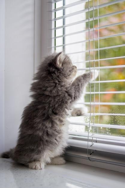 Un petit chaton gris et moelleux persan maine coon du maine se dresse sur ses pattes arrières près de la porte et attend le propriétaire. Photo Premium
