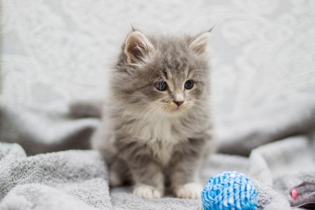 Petit chaton gris moelleux persan maine coon joue avec une petite boule bleue Photo Premium