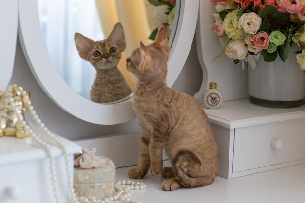 Petit chaton rouge devonrex regarde dans le miroir Photo Premium