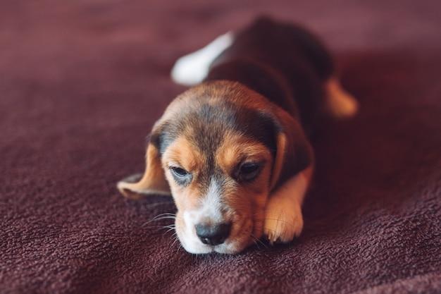Petit chien beagle jouant à la maison sur le lit. Photo Premium