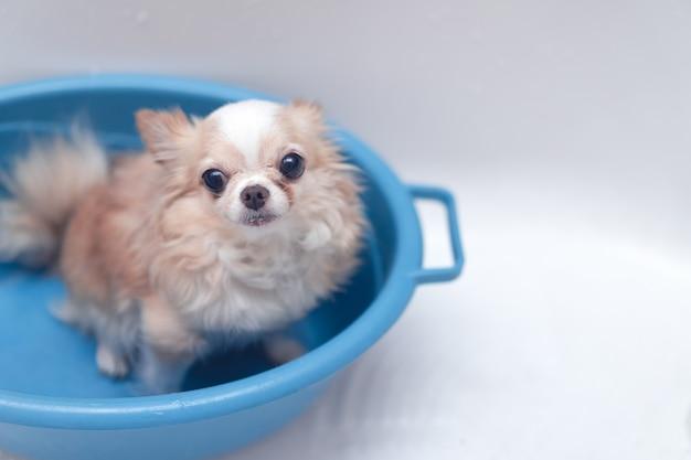 Petit Chien Chihuahua Brun Mignon En Attente Pour Le Propriétaire Dans La Baignoire Après Avoir Pris Un Bain Dans La Baignoire Photo Premium