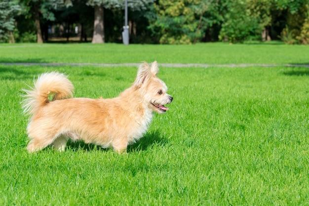 Petit chien couché sur l'herbe Photo Premium
