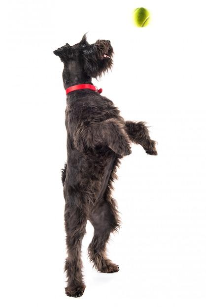 Petit chien noir avec une balle de tennis Photo Premium