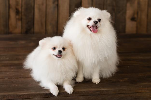 Petit chiot spitz-chien poméranien. il peut être utilisé comme arrière-plan Photo Premium