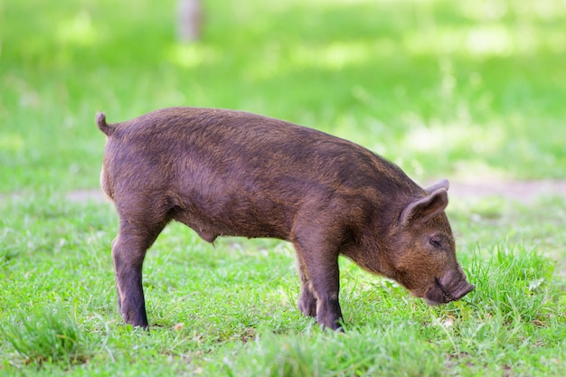 Petit Cochon Noir. Mignon Petit Cochon Noir Marche Sur Une Flaque D'eau, Mange De L'herbe, Amour De La Nature, Vega. Cochon Noir Photo Premium