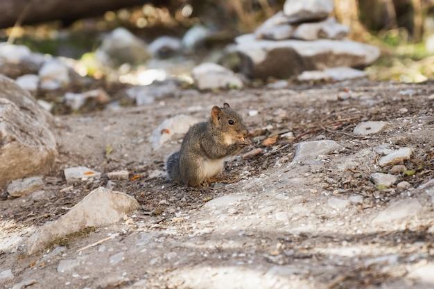 Petit écureuil brun debout mange des arachides en forêt Photo Premium