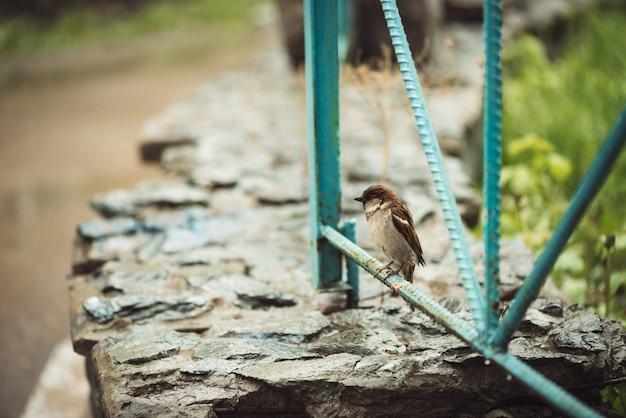 Petit jeune moineau humide assis sur une clôture bleue Photo Premium