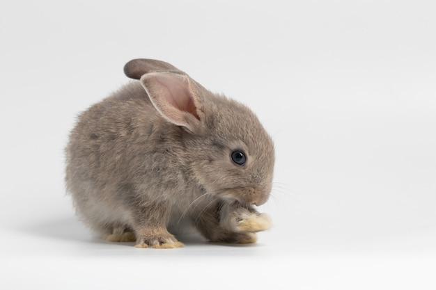 Petit lapin gris assis sur fond blanc isolé au studio. Photo Premium