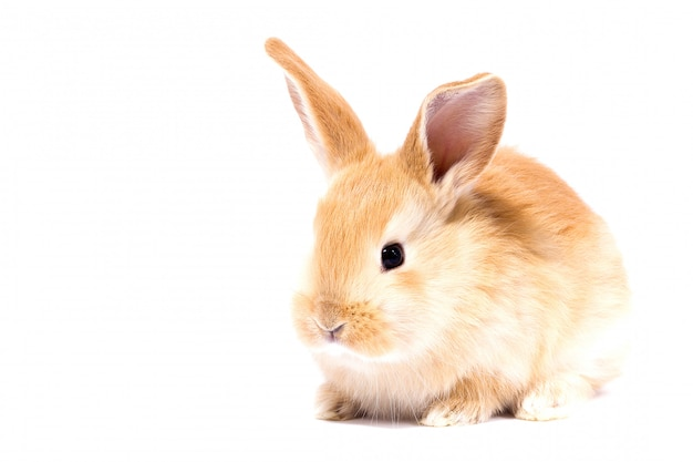 Petit lapin moelleux rouge, isoler, lapin de pâques Photo Premium