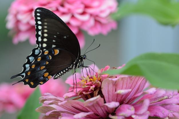 Petit Papillon Satyrium Noir Sur Une Fleur Rose Photo gratuit