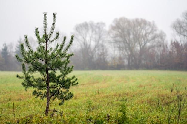 Petit pin solitaire debout sur un champ par temps brumeux Photo Premium