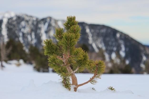 Petit Pin Sortant De La Neige à L'horizontale. Concept Nature Et Végétation Photo Premium