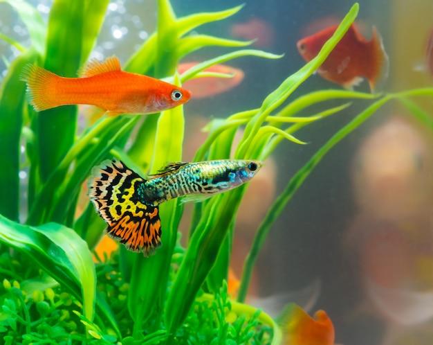 Petit poisson en aquarium ou aquarium, poisson doré, poisson rouge et guppy, carpe fantaisie avec plante verte Photo Premium
