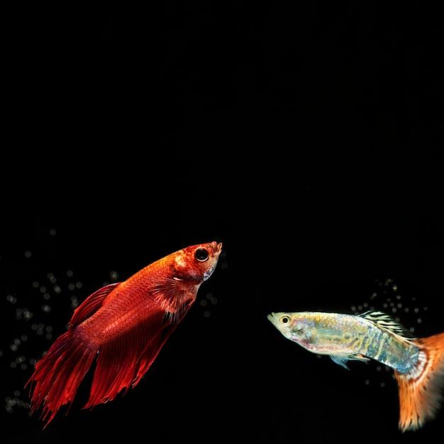 Petit poisson betta avec espace de copie Photo gratuit