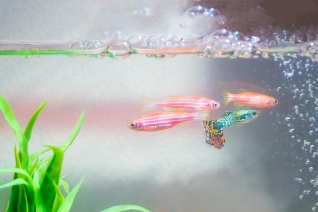 Petit poisson guppy en aquarium ou aquarium Photo Premium