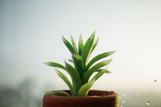 Petit pot d'haworthia sur les fenêtres pluvieuses. Photo Premium