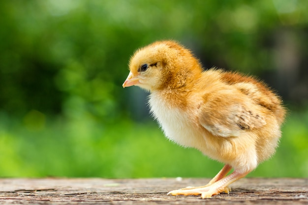 Un petit poulet brun se dresse sur un fond en bois, suivi d'un fond vert naturel Photo Premium