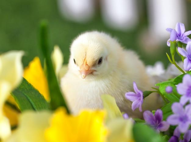 Le petit poussin est assis dans les fleurs Photo Premium