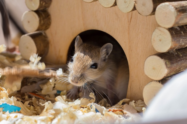 Un petit rongeur domestique jaillit de sa maison en bois dans une cage de sciure de bois Photo Premium