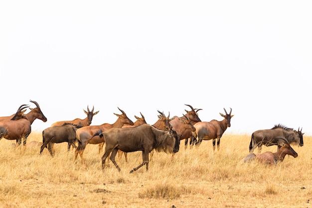 Un Petit Troupeau D'antilopes Congonies Kenya Afrique Photo Premium