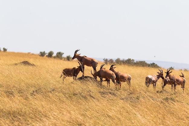 Un Petit Troupeau De Congonies D'antilopes Dans Le Masai Mara Kenya Afrique Photo Premium