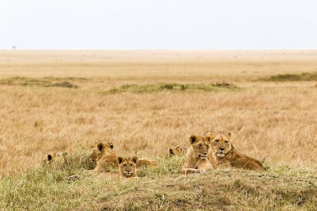 Un Petit Troupeau De Lions Photo Premium