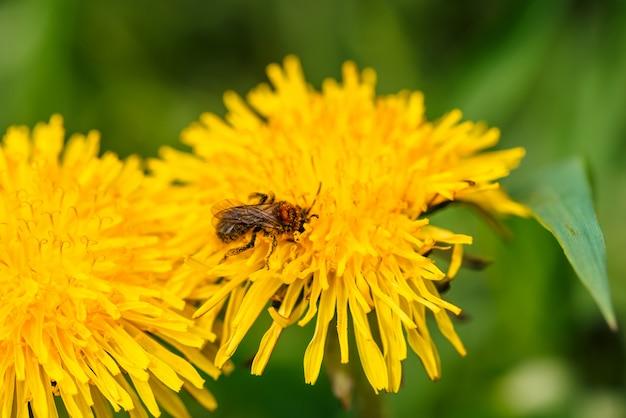 Petite abeille collecte le pollen sur le pissenlit de près Photo Premium
