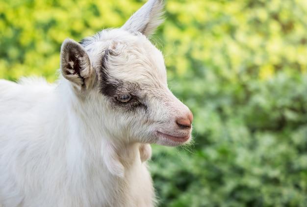 Une Petite Chèvre Blanche Se Bouchent Sur Un Arrière-plan Flou Vert Photo Premium