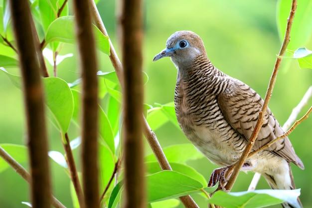 Une petite colombe zébrée sauvage perchée sur une branche d'arbre avec un feuillage vert vibrant flou Photo Premium