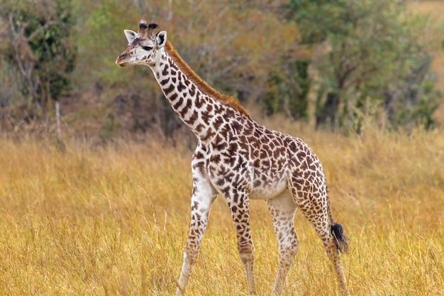 Petite Girafe Dans La Clairière Kenya Afrique Photo Premium