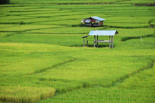 Petite maison et rizières à chiang mai, thaïlande Photo Premium