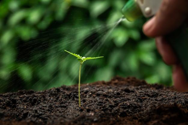 Une petite plante de plants de cannabis au stade de végétation plantée dans le sol au soleil, un beau fond, des cultures de culture dans une marijuana d'intérieur à des fins médicales Photo Premium