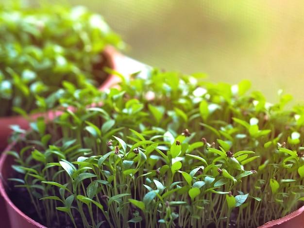 Une Petite Pousse Dans Un Pot De Tourbe. Germination Des Graines Au Printemps. Photo Premium