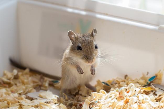 Petite souris, petit gerbille assis dans une boîte avec de la sciure de bois Photo Premium